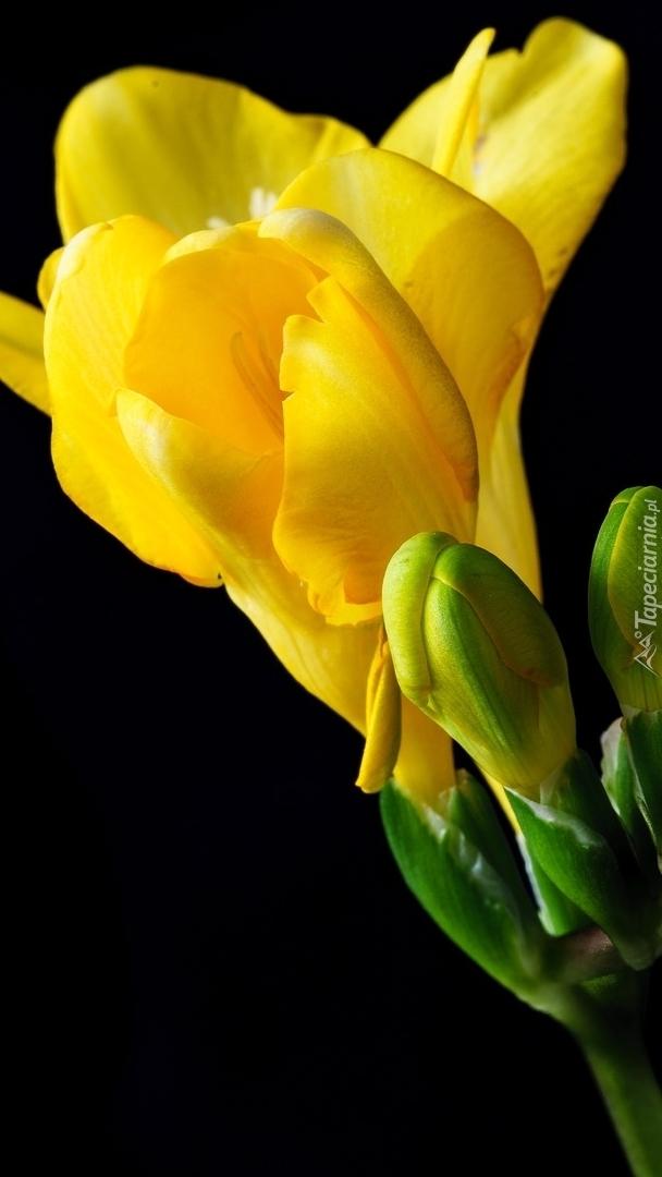 Frezja żółta