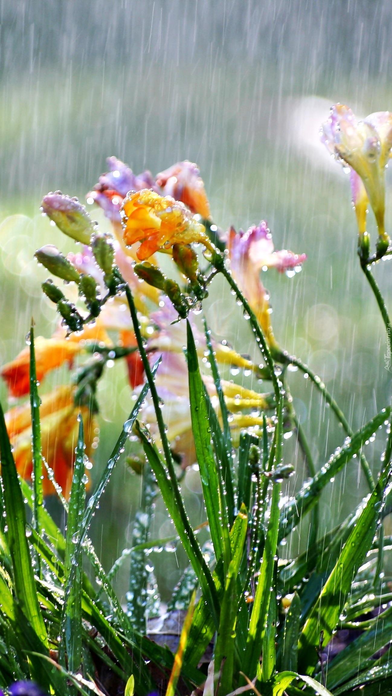 Frezje w deszczu