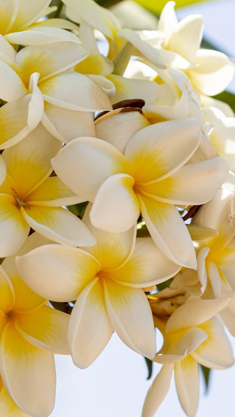 Gałązka białej plumerii