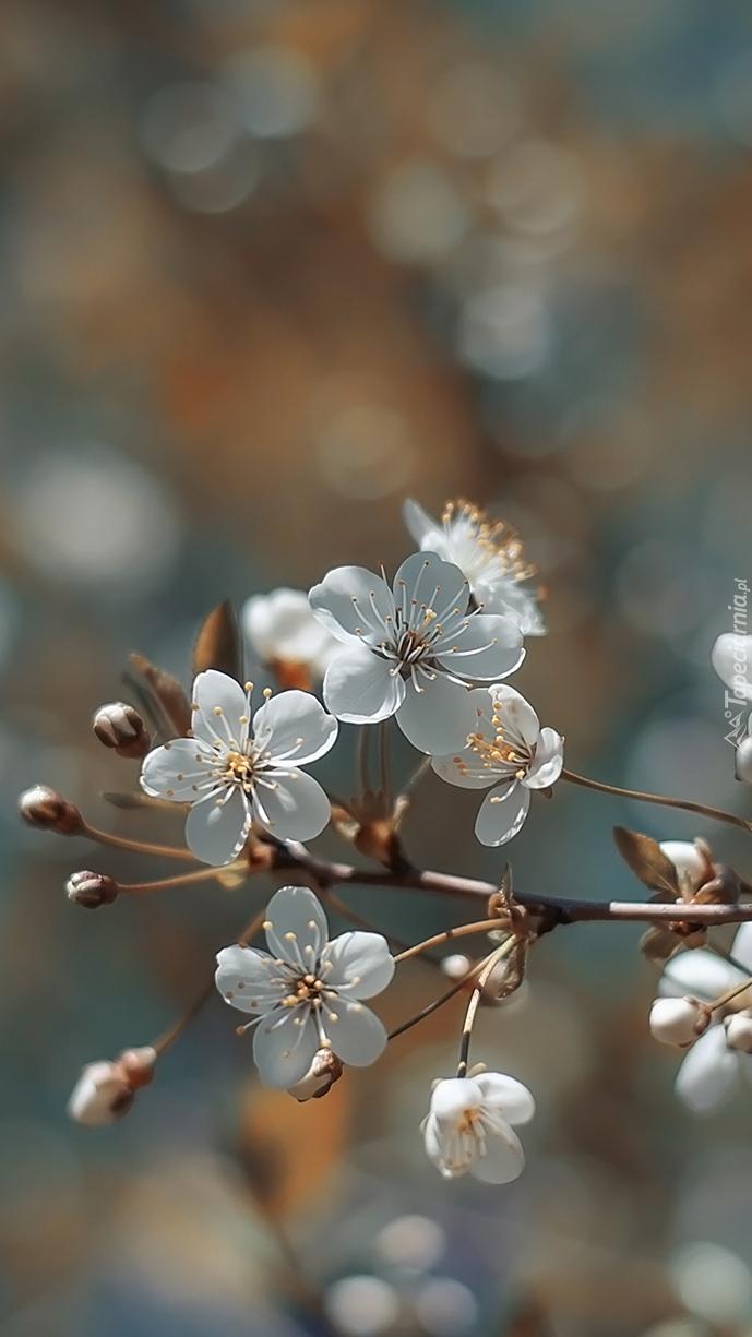 Gałązka białych kwiatów wiśni