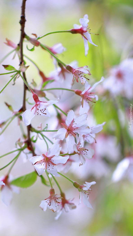 Gałązka kwiatów wiśni