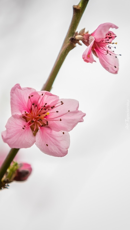 Gałązka kwitnącej brzoskwinii