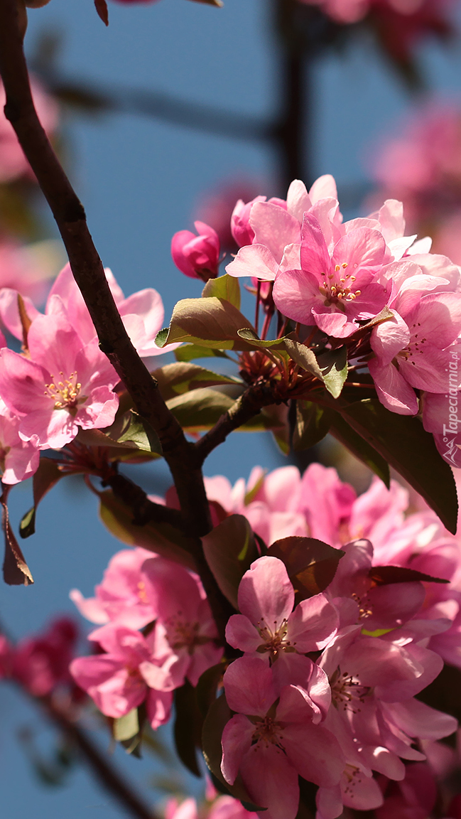 Gałązka kwitnącej jabłoni