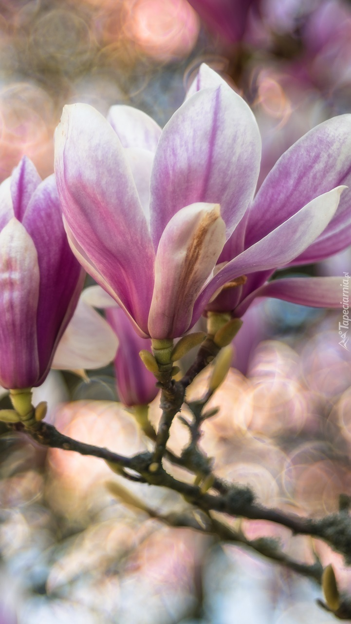 Gałązka kwitnącej magnolii