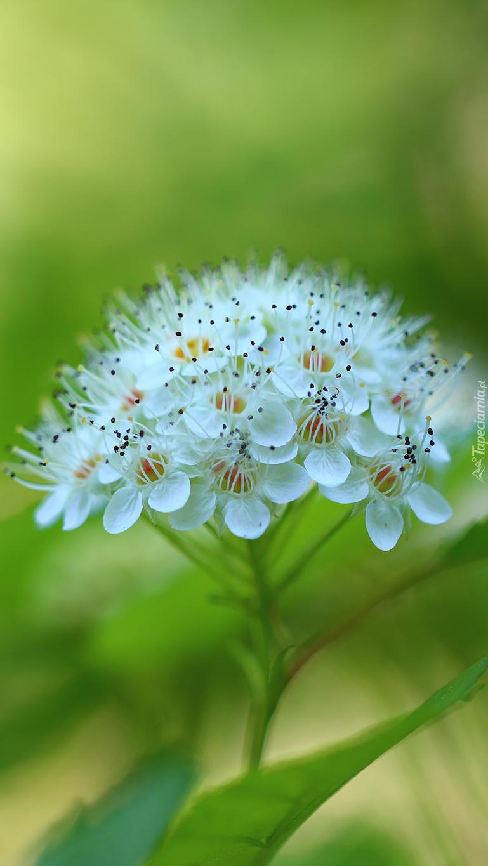Gałązka kwitnącej pęcherznicy