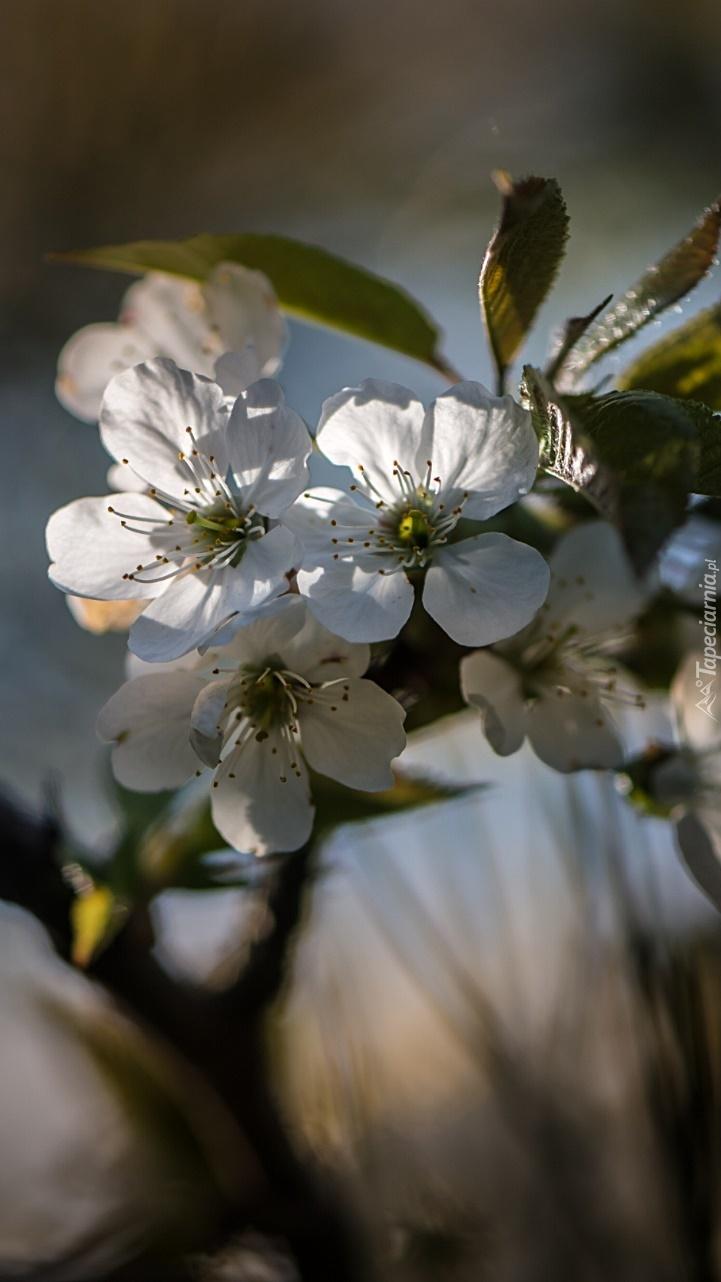 Gałązka kwitnącej wiśni
