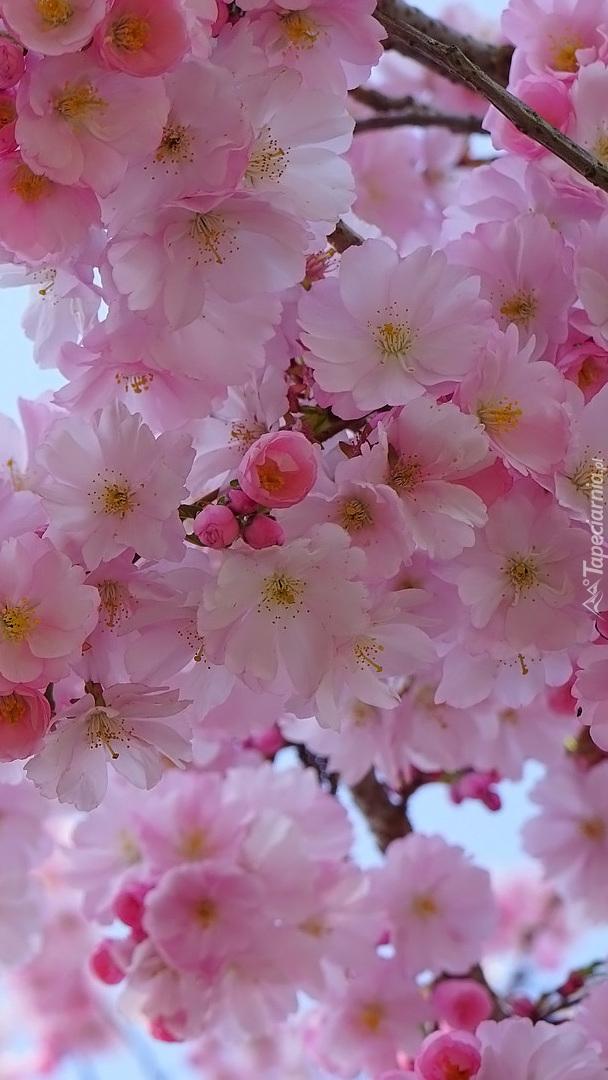 Gałązka kwitnącej wiśni japońskiej