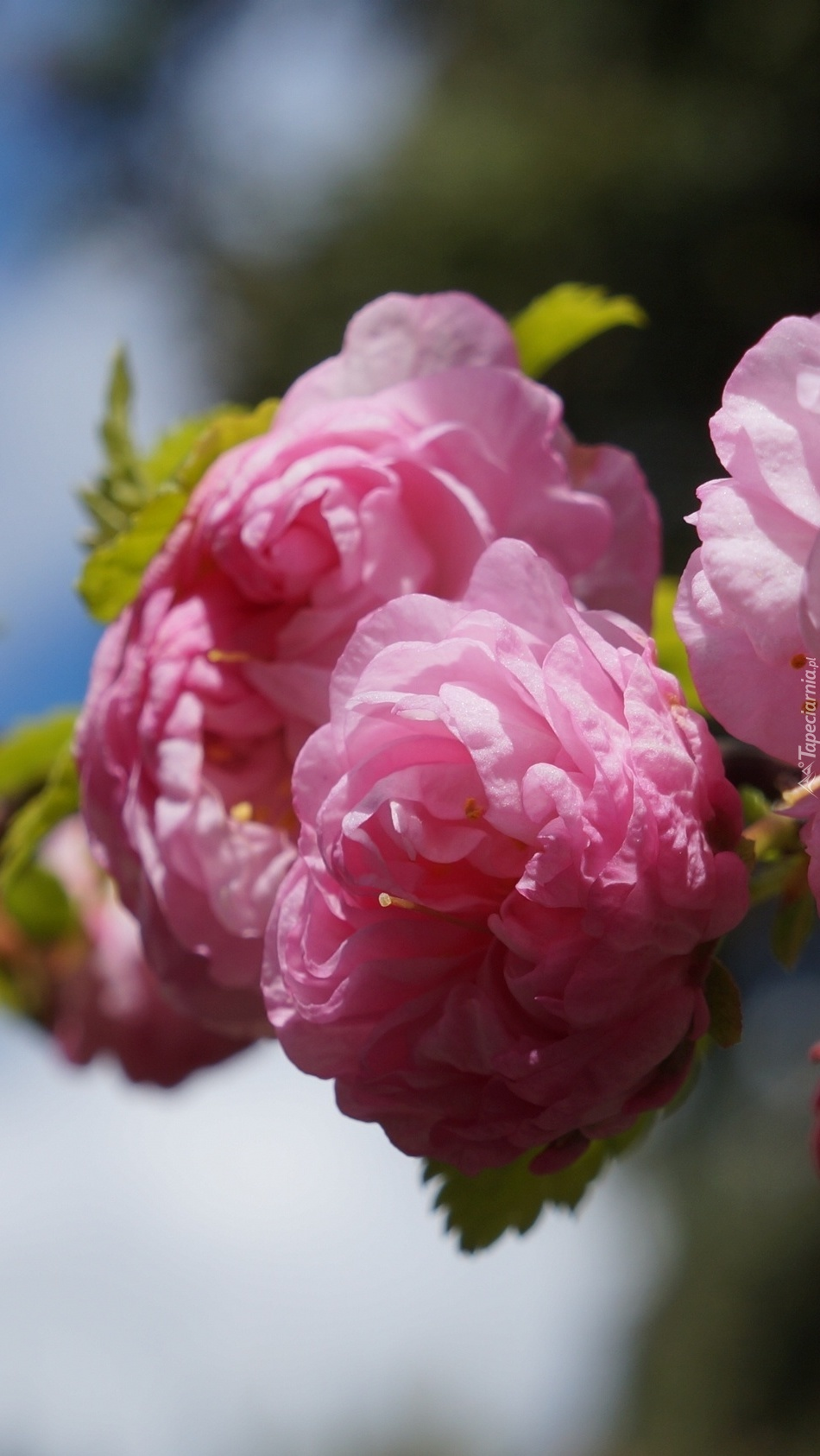 Gałązka migdałka różowego pomału przekwita