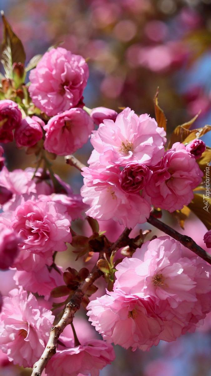 Gałązka wiśni japońskiej