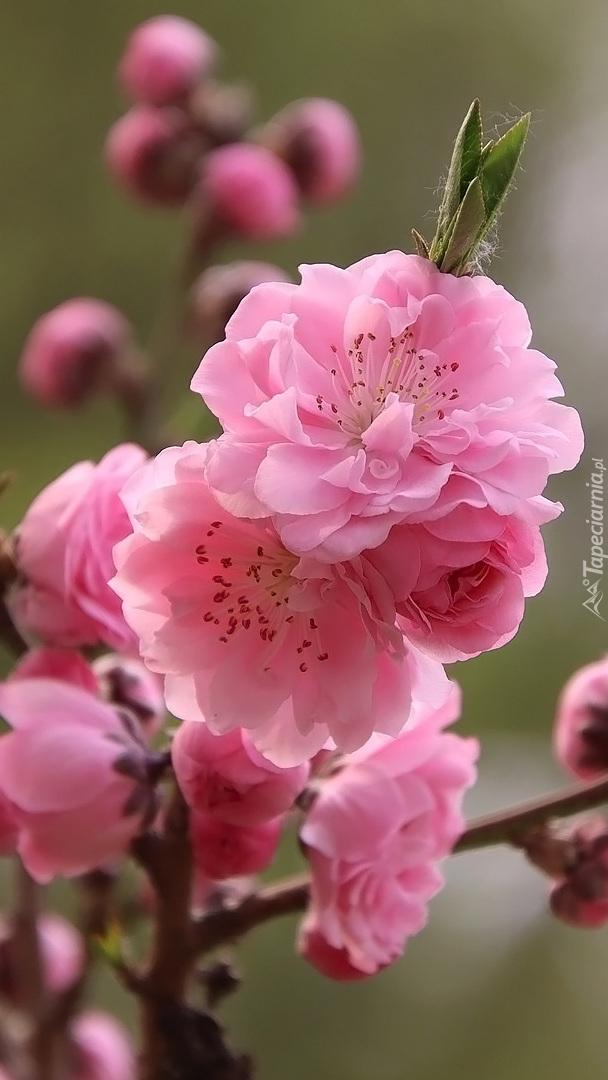 Gałązka wiśni japońskiej z różowymi kwiatkami