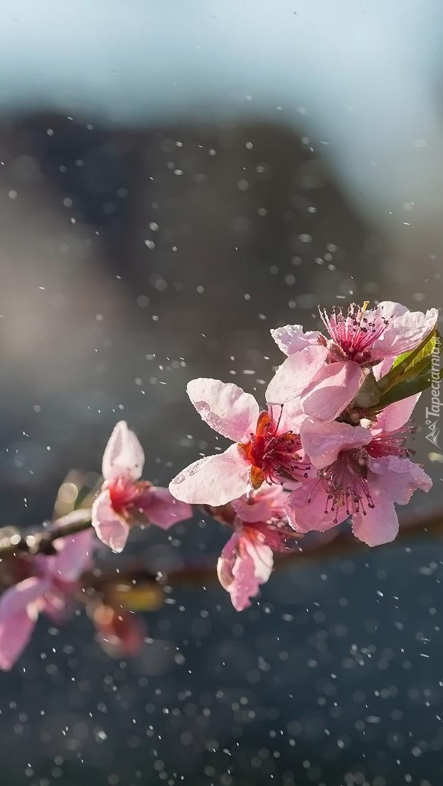 Gałązka wiśni w deszczu