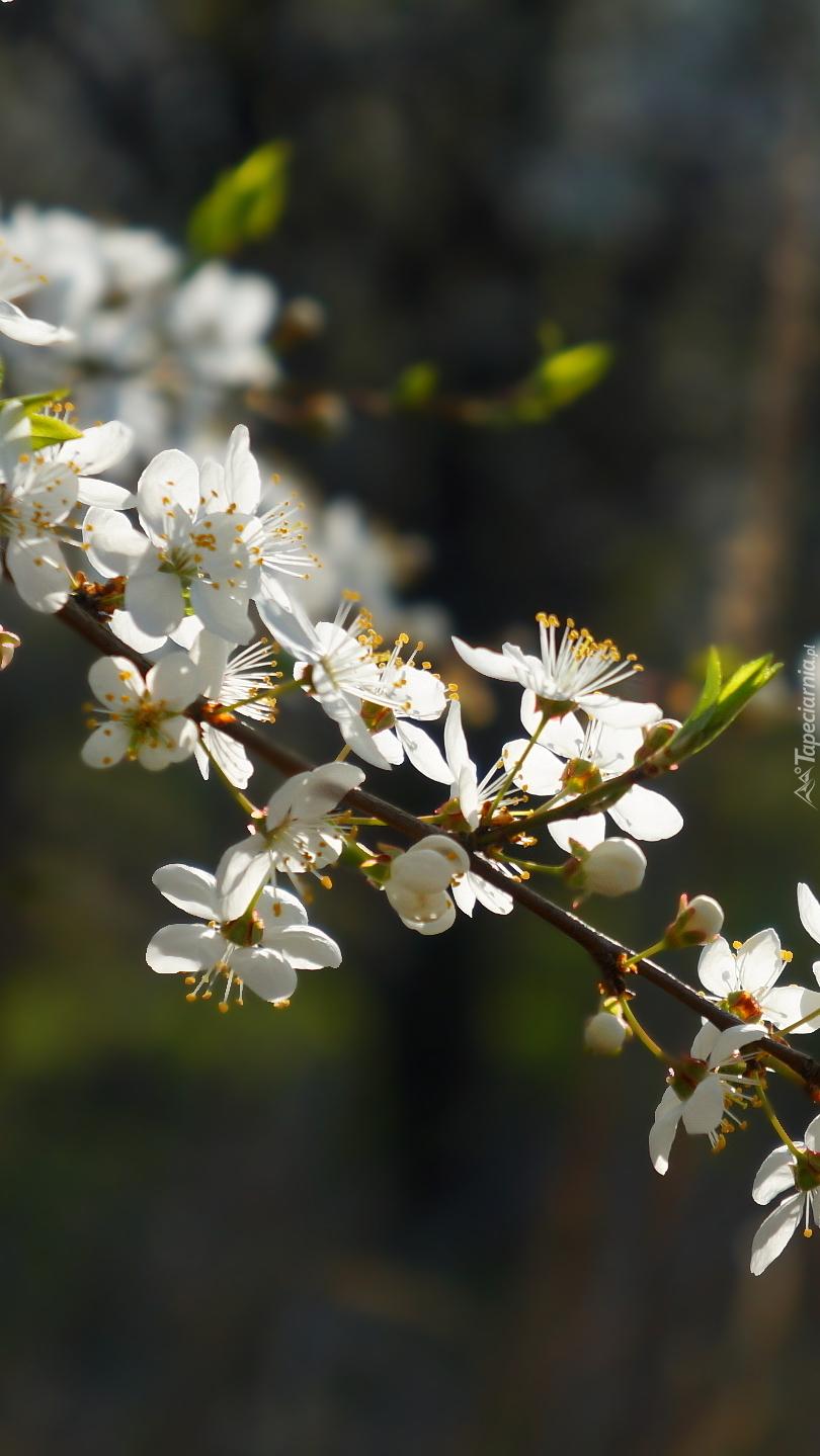 Gałązka z białymi kwiatami
