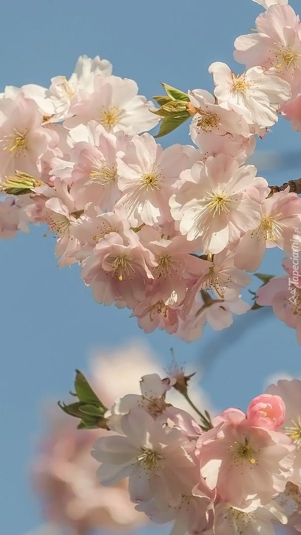 Gałązka z bladoróżowymi kwiatami