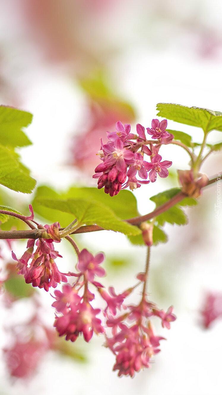 Gałązka z kwiatami porzeczki krwistej