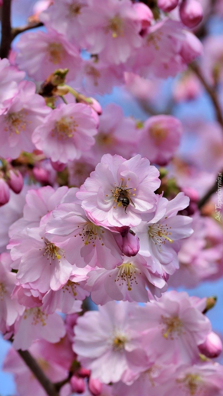 Gałązka z kwiatami wiśni