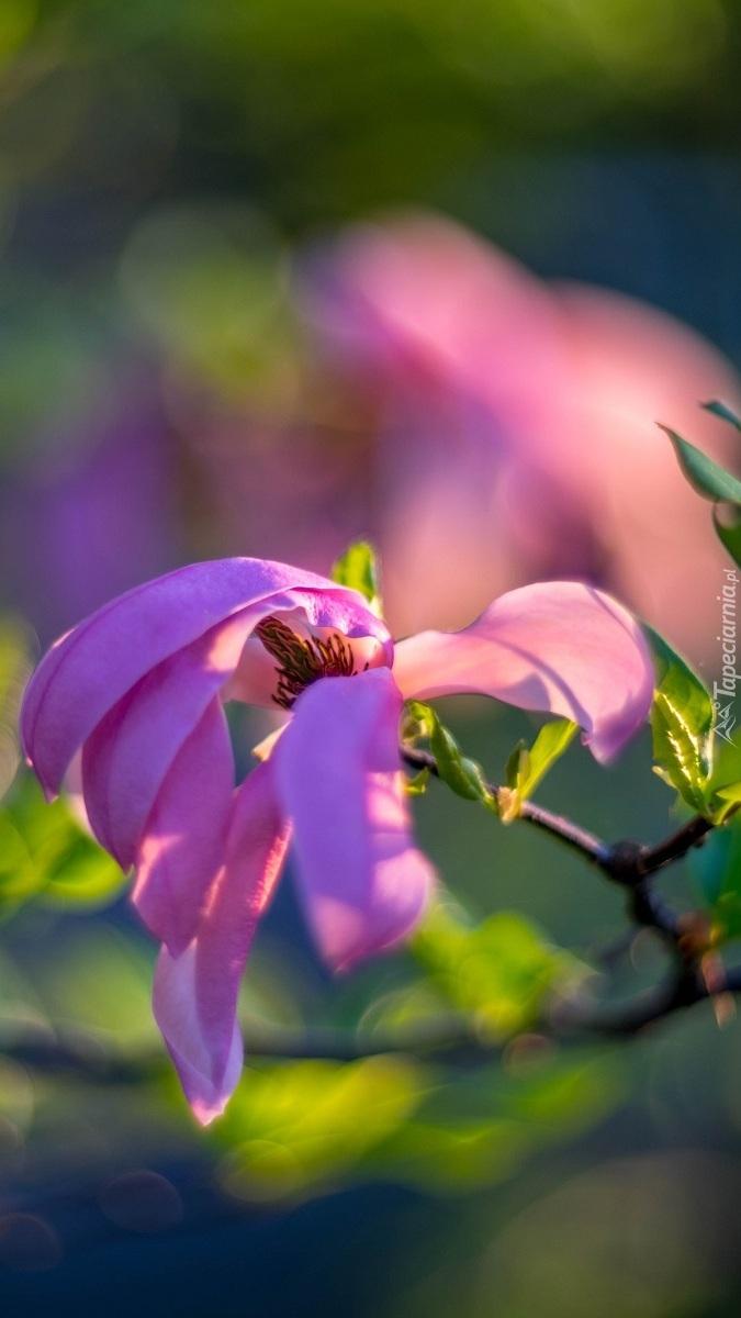 Gałązka z kwiatem magnolii