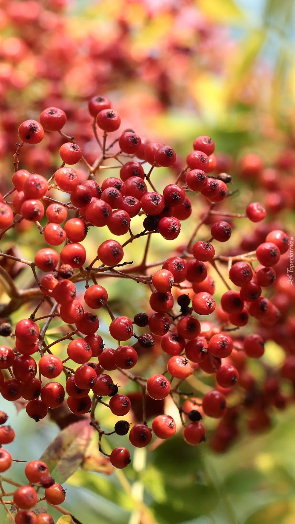 Gałązka z owocami czerwonej jarzębiny