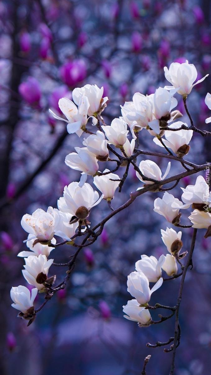 Gałązki białej magnolii