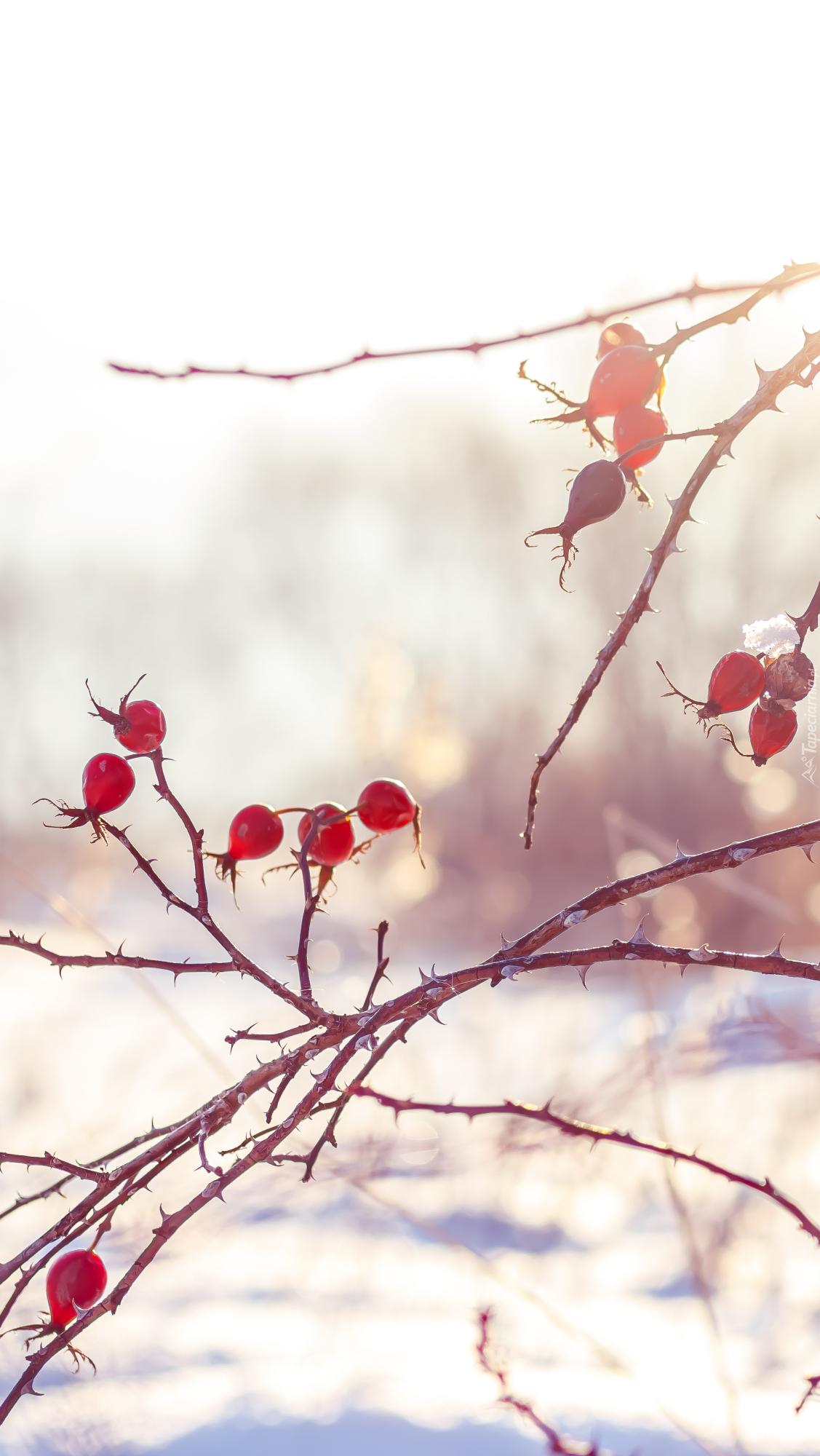 Gałązki dzikiej róży