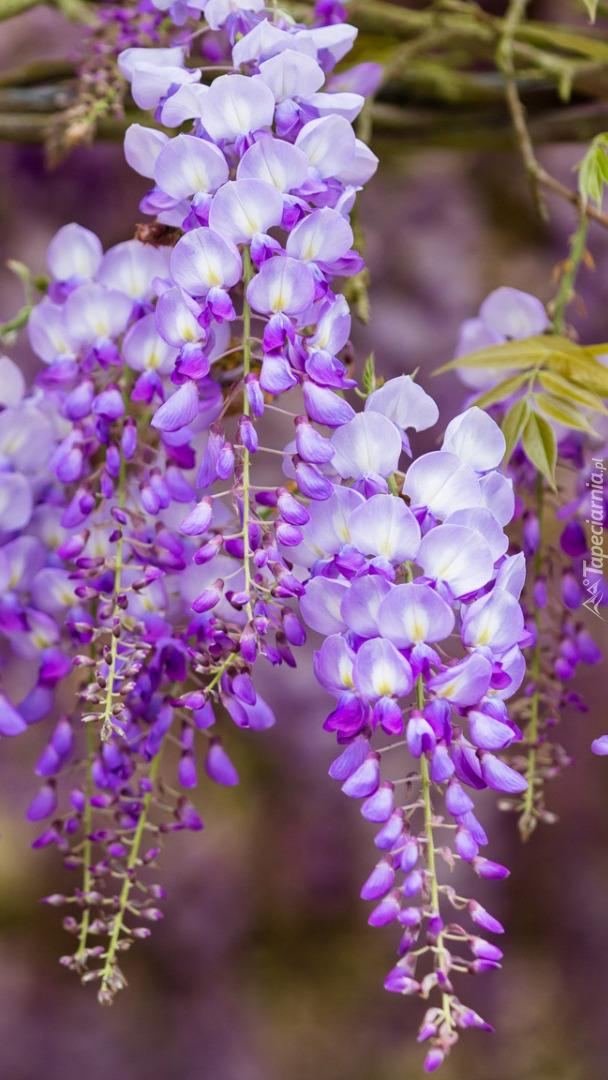 Gałązki kwitnącej glicynii