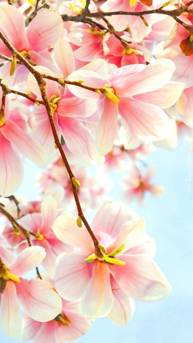 Gałązki kwitnącej magnolii