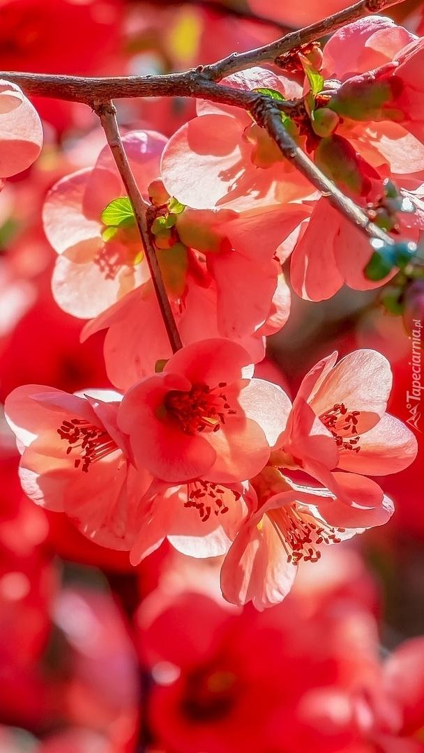 Gałązki kwitnącej pigwy