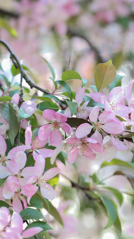Gałązki kwitnącej rajskiej jabłoni