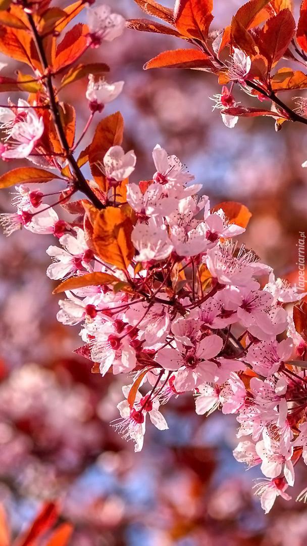 Gałązki kwitnącej śliwy