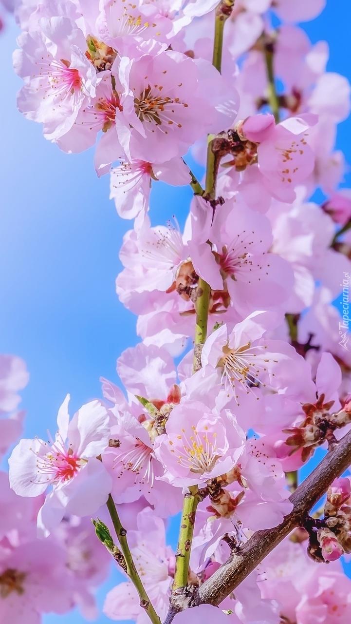 Gałązki kwitnącej wiśni
