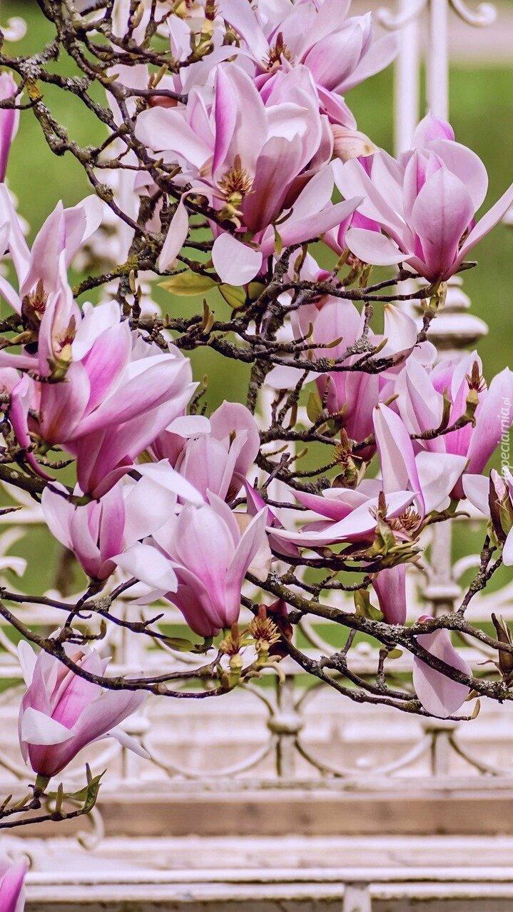 Gałązki magnolii