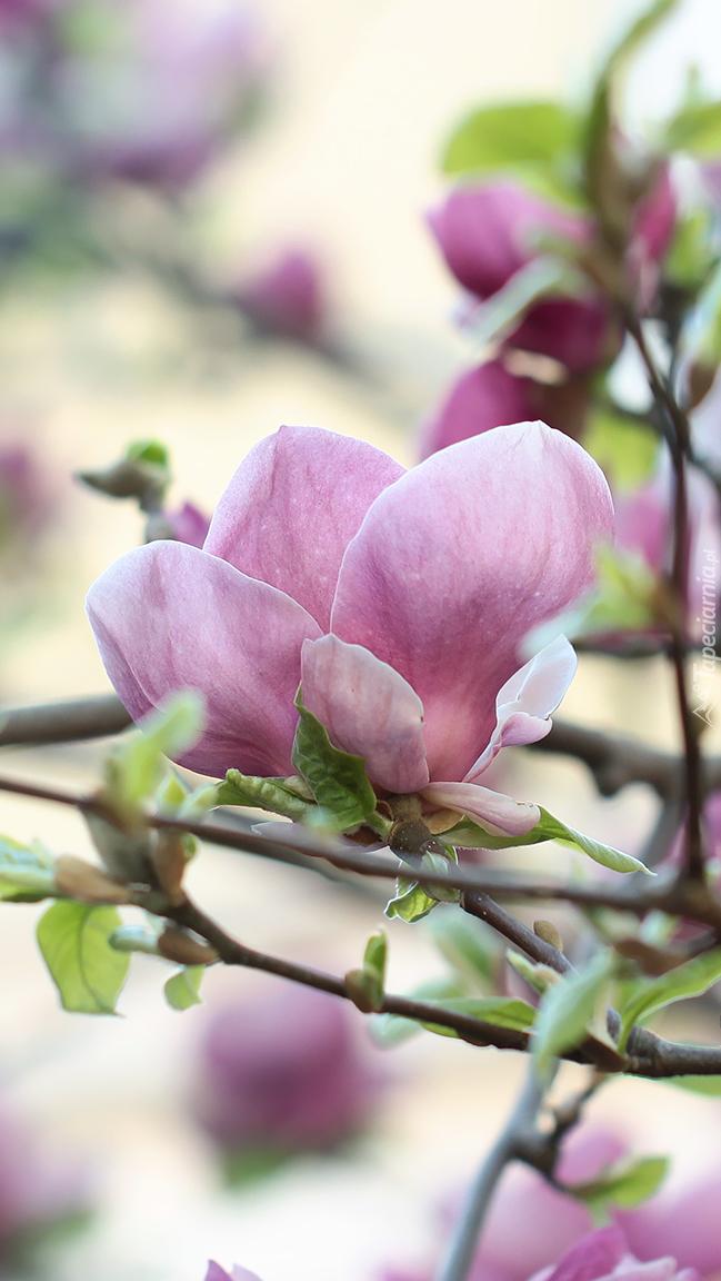 Gałązki różowej magnolii