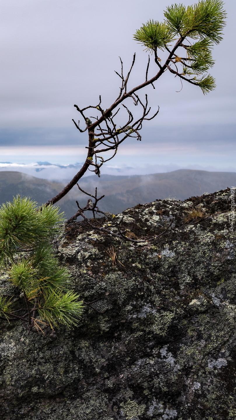 Gałązki sosny na skale