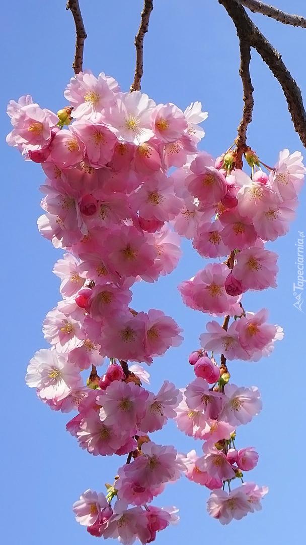 Gałązki wiśni japońskiej
