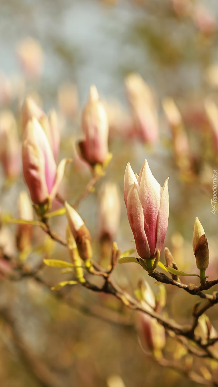 Gałązki z pąkami magnolii
