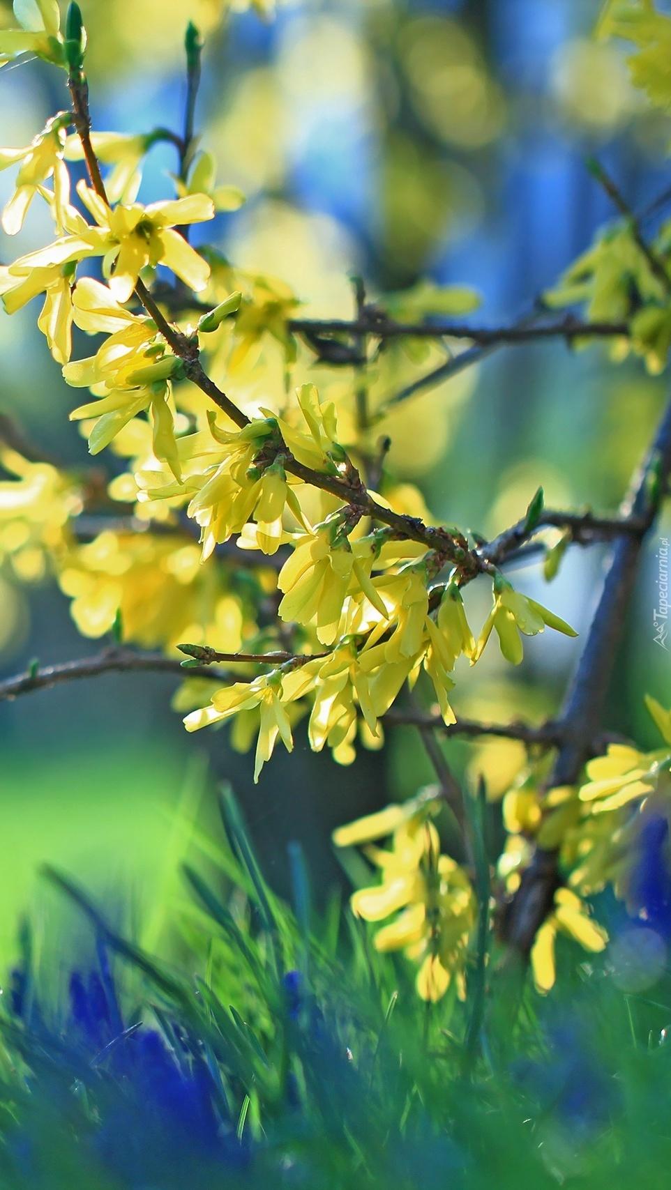 Gałązki żółtym kwieciem obsypane