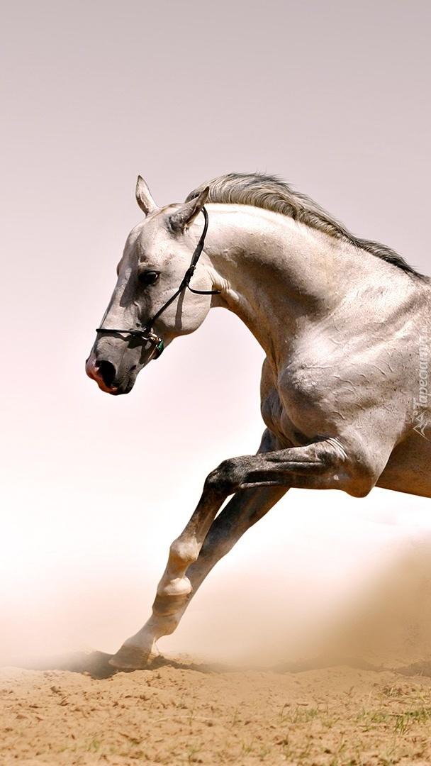 Galop konia w tumanach kurzu