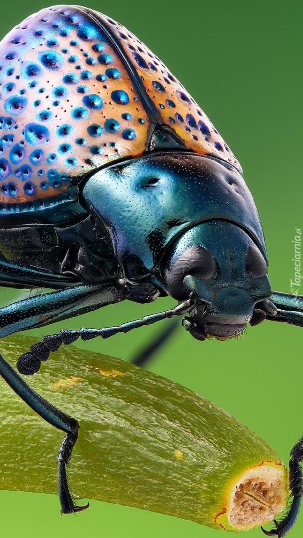 Garbaty chrząszcz