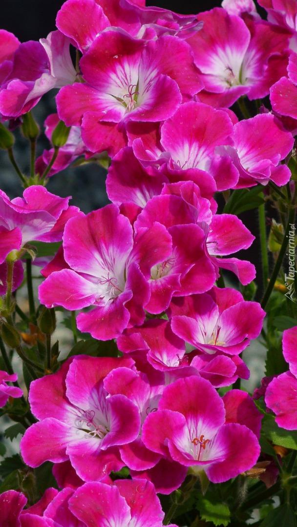 Geranium różowe