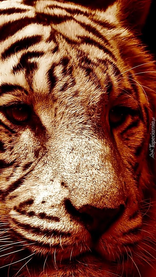 Głowa białego tygrysa w sepii