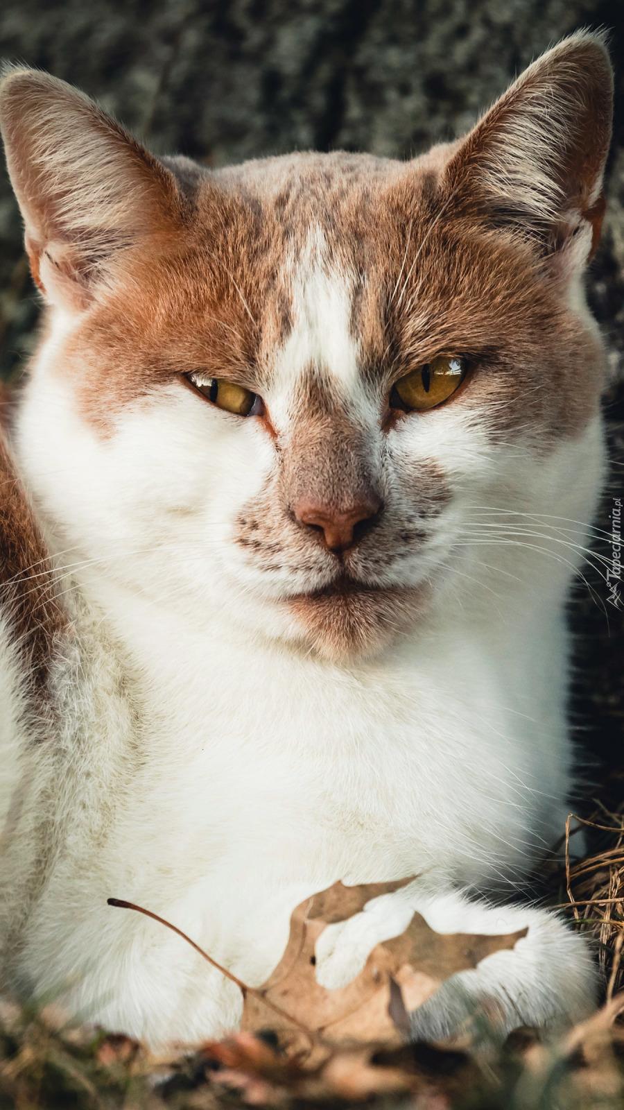 Głowa biało-rudego kota