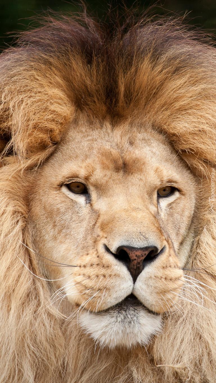 Głowa lwa z imponującą grzywą
