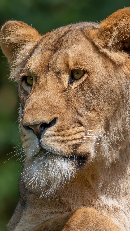 Głowa lwicy