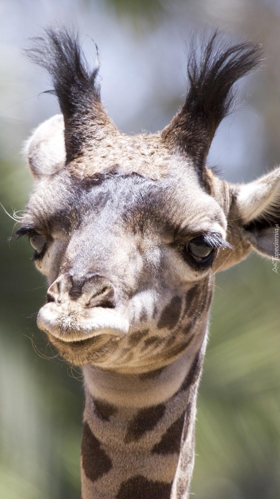 Głowa młodej żyrafy