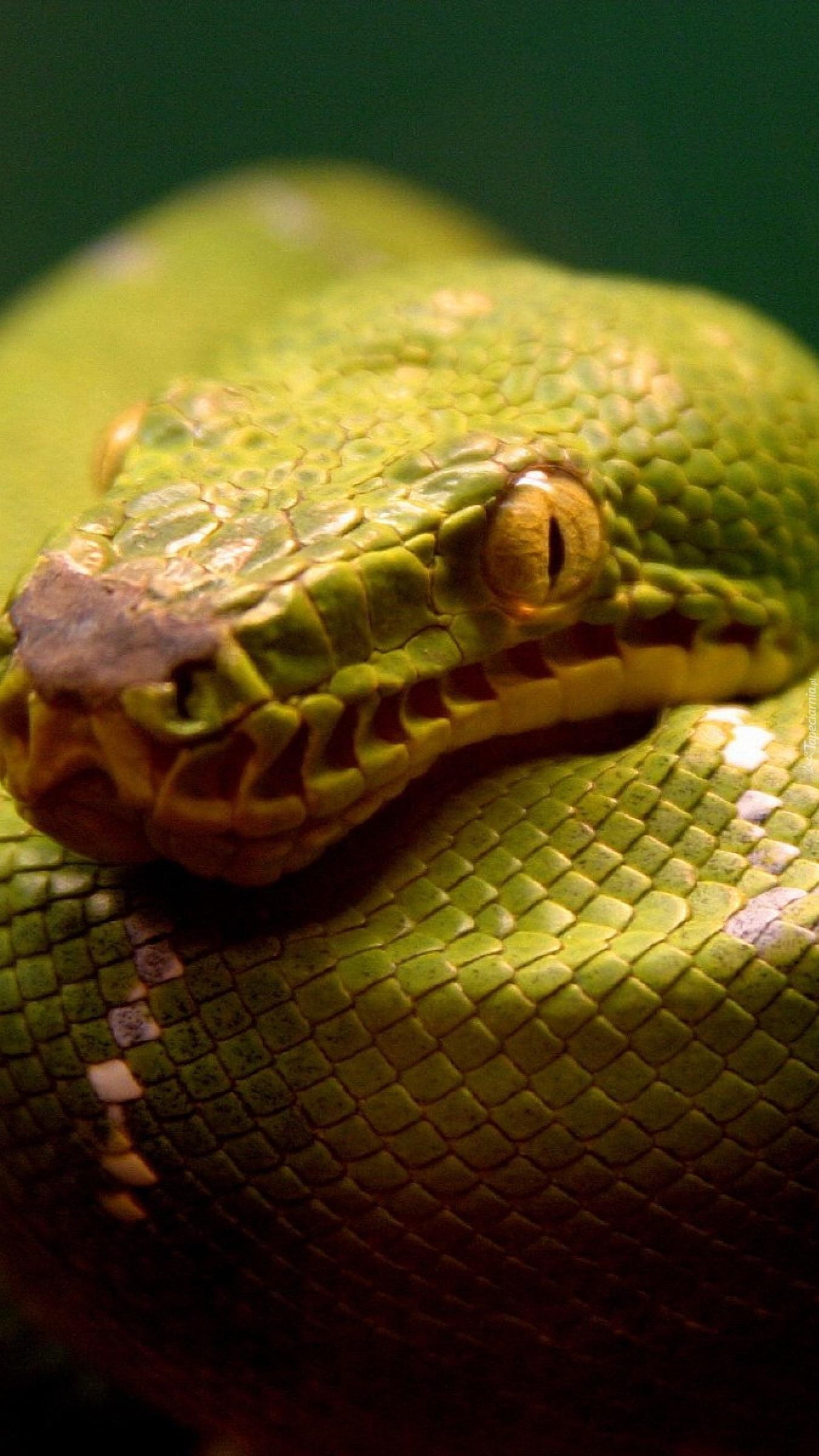 Głowa pytona zielonego