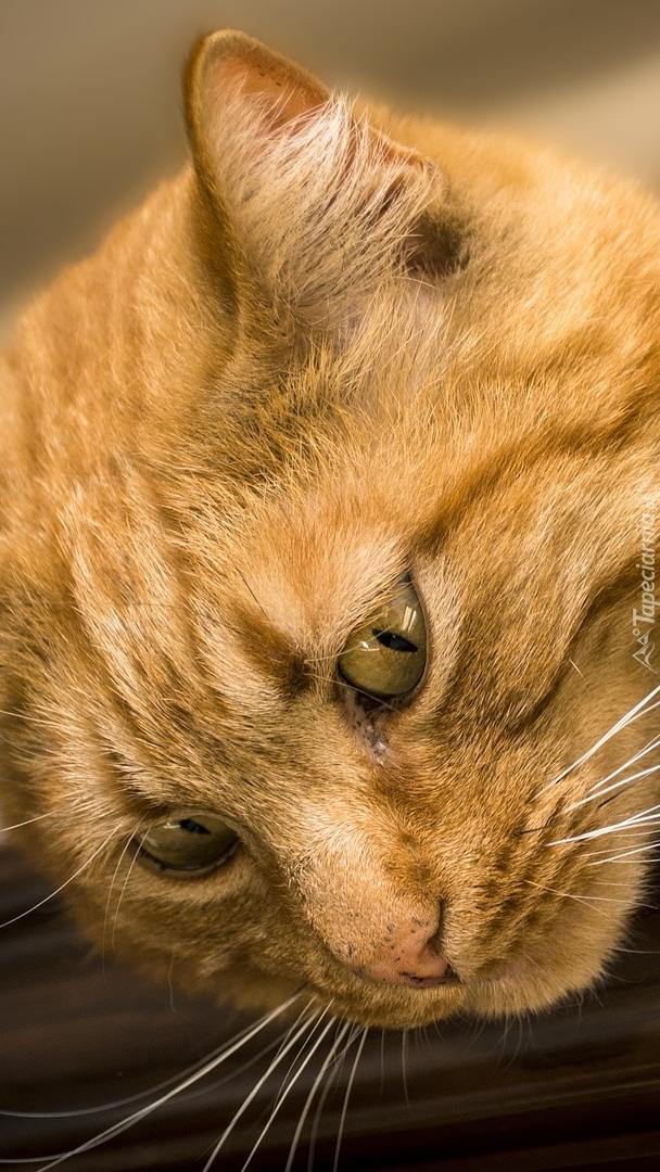 Głowa rudego kota