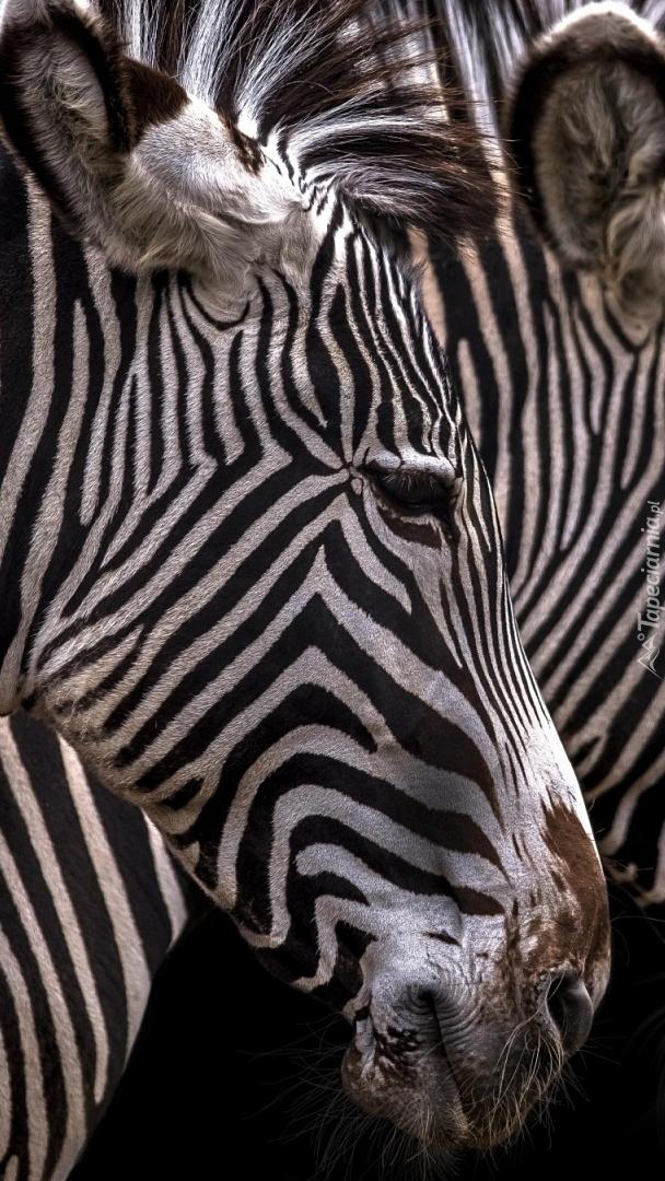 Głowa zebry