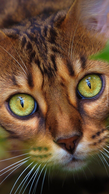 Głowa zielonookiego kota w zbliżeniu