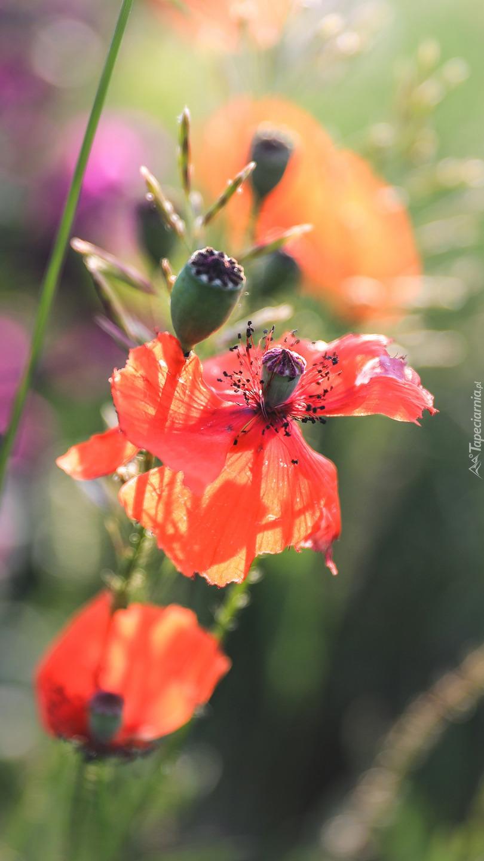 Główki makowe z kwiatami