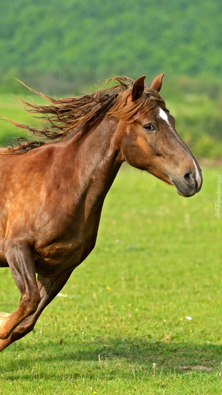 Gniady koń biegnący po trawie