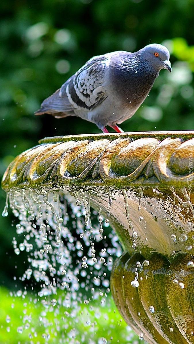 Gołąb na fontannie